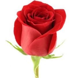 Высокая красная роза